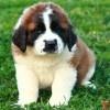 Saint Bernard puppy :D