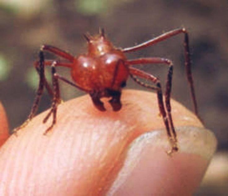 HORMIGA FUEGO Para tratar correctamente una picadura de esta clase de hormigas debes: 1. Elevar la zona afectada. 2. Lavar la picadura con agua y jabón. 3. Coloca una compresa fría sobre el área infectada. 4. Toma un antihistamínico o usa una crema de hidrocortisona. 5. No revientes las ampollas.  6. Evita rascarla, ya que esto puede provocar que se rompa.