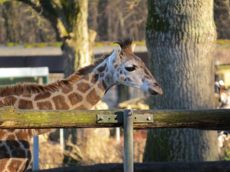 Kiano, das kleine Giraffenbaby im Augsburger Zoo