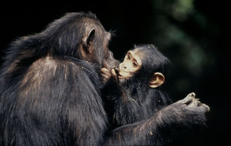 CHIMPANZEE AND BABY / CHIMPANSEE