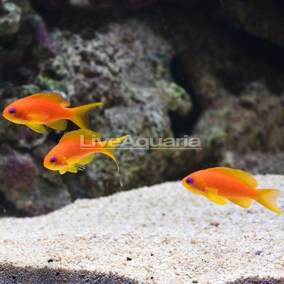 Liveaquaria Pseudanthias Squamipinnis Pets Fish Pet Animals