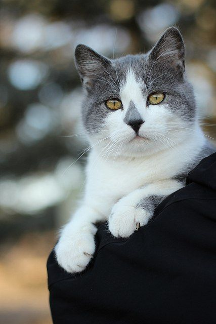 Oh my this kitty looks like my precious Puddy Tat she passed long ago. Only difference was she sneezed when her grey triangle was put on her nose and it was a little off center :). She would put her paw in my hand at night and we would fall sleep.