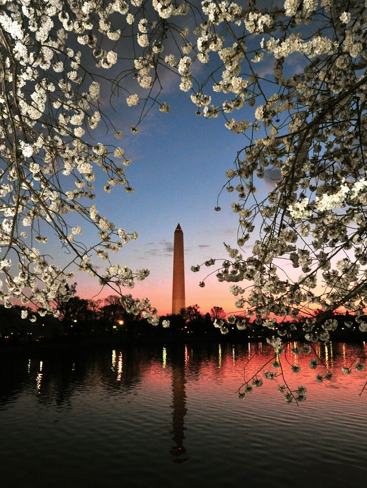 The Washington Monument in Washington, DC, March 19, 2012 surrounded by Cherry blossoms in full bloom due to the early warm weather along the East coast of the US. The blossoms are expected to reach their peak on Tuesday, the first official day of Spring. (Karen Bleier/AFP/Getty Images)