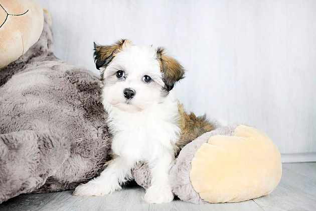 Columbus Ohio Bichon Frise Meet Camille A For Adoption Https Www Adoptapet Com Pet 20202525 Columbus Ohio Bichon Frise Mix Bichon Frise Dog Pounds Pets