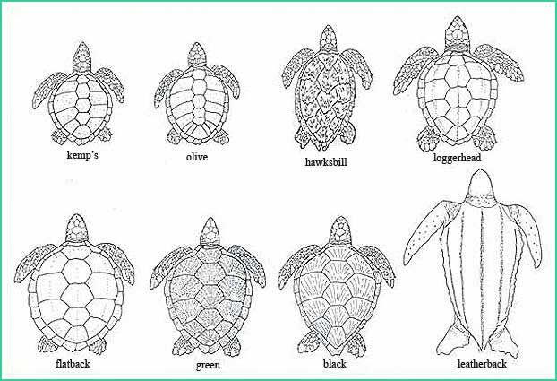 teeth  google and leatherback turtle on pinterest
