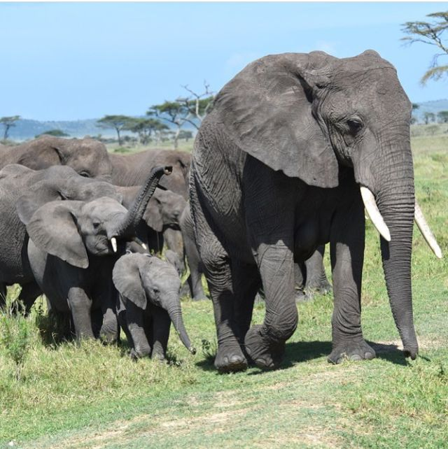 In a historic vote today, Hong Kong, the worlds largest ivory trade center, has voted to ban the trade! ❤️1/31/18