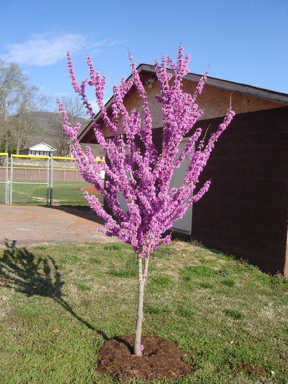1 Eastern Redbud Tree 3 To 4 Feet Tall 19 99 Each Cercis