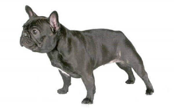 French Bulldog Temperament For Sale Puppy Size Facts Blue