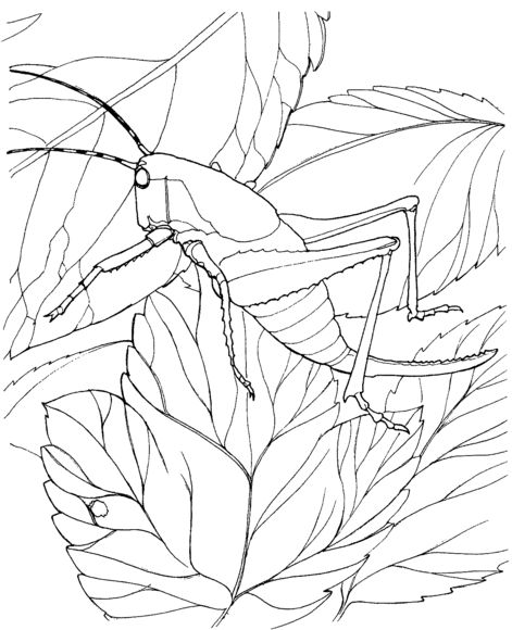 Locust 5 Coloring Page From Category Select 28391 Printable Crafts Of Cartoons Nature Animals Bible And Many More