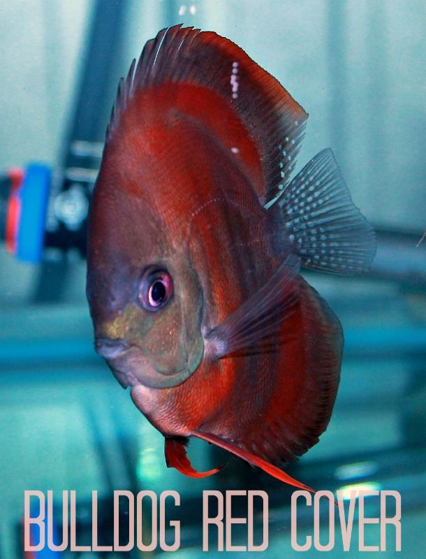 how to import discus fish