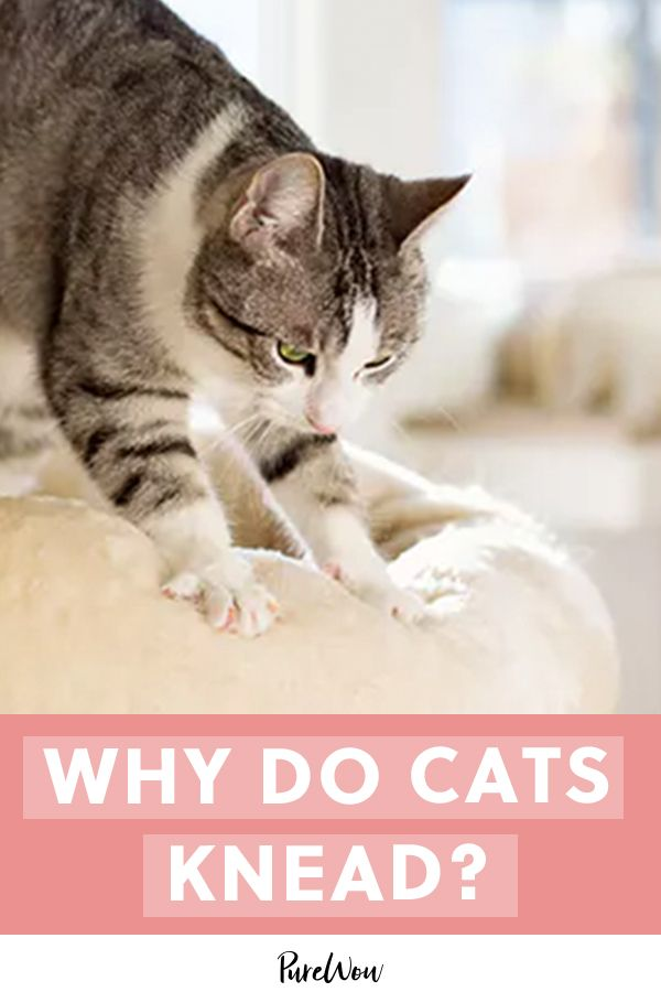 Why Do Cats Knead Cats Knead Cats Cat Care