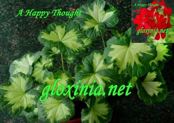 Пеларгония A Happy Thought