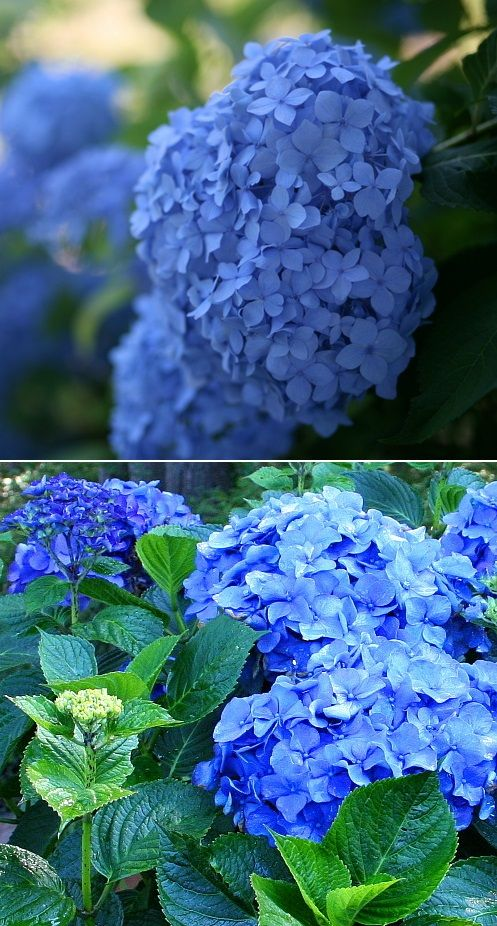 How to turn hydrangeas blue