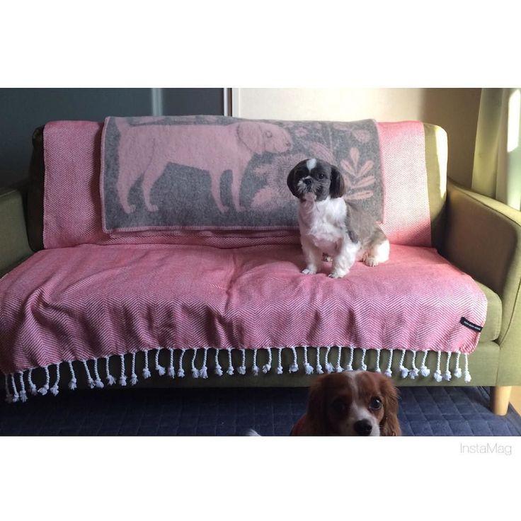 #ラプアンカンクリ のブランケットが可愛い  ソファにかけるのが夢だった笑  ここは私のお昼寝スペースになりそうです  #shihtzu #シーズー by chiichi73