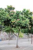 Kayu Manis (Cinnamomum burmannii)