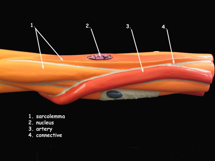 Smooth Muscle Cell Model | science | Pinterest
