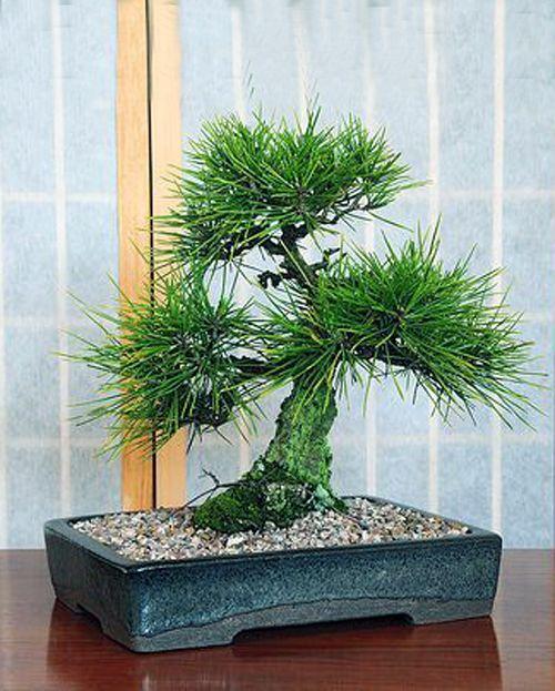 RP:  Pinus Elliottii - Slash Pine   eBay.in