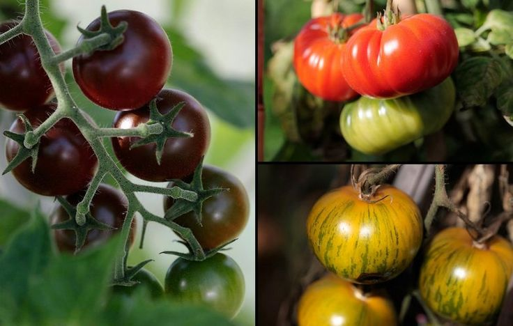 Dyrk tomater som Camilla plum