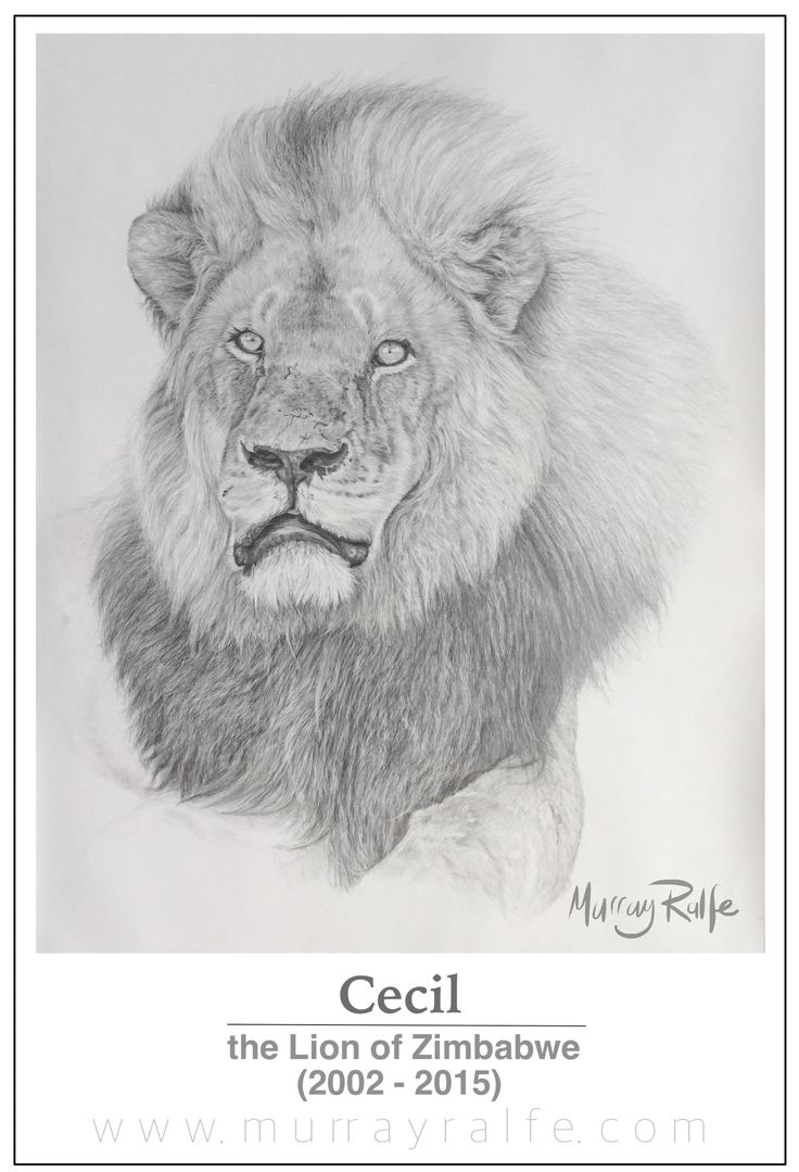 Cecil, the lion of Hwange - Zimbabwe when he was 11 years old in 2013. Pencil drawing by Murray Ralfe, thanks Paul #CecilTheLion