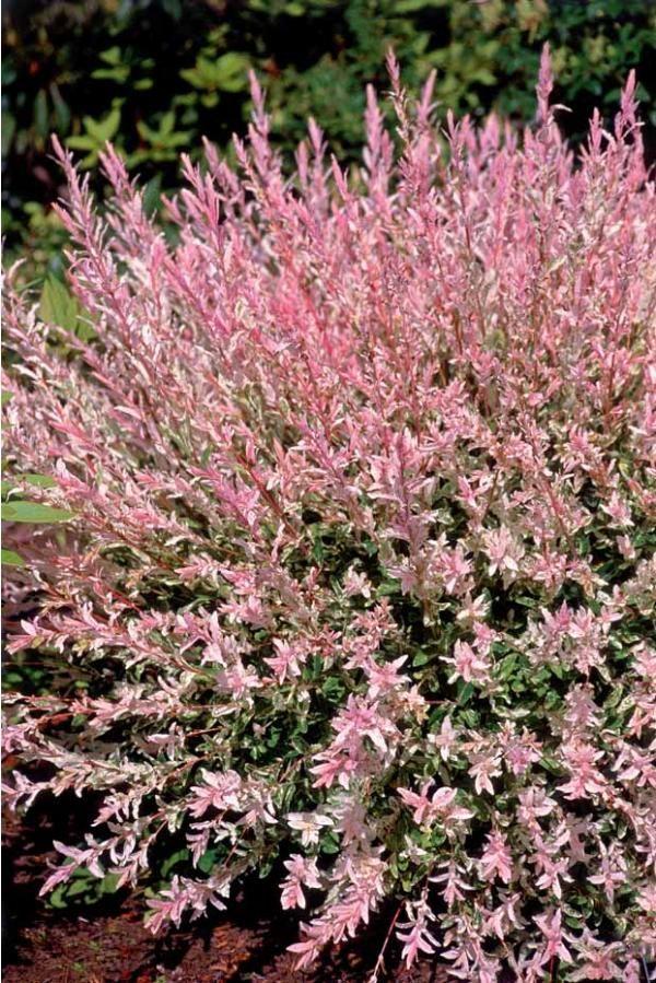 Bel arbuste décoratif du printemps à l'automne grâce à son superbe feuillage teinté de rose au printemps, puis tacheté de blanc crème tout l'été. En le taillant chaque année en fin d'hiver, vous accentuerez les colorations. Culture  facile. En isolé, massif ou en bac.