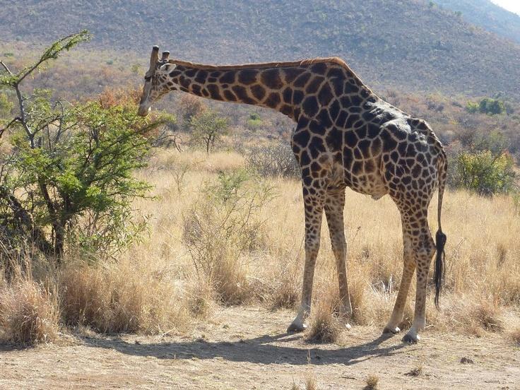 Giraffe - Pilanesberg