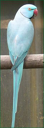 Perruche a collier Bleu d'Inde