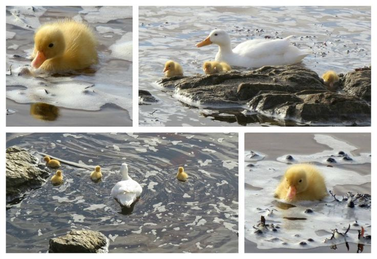 Ducklings at Onrus Beach photographed by Caroline Gabb