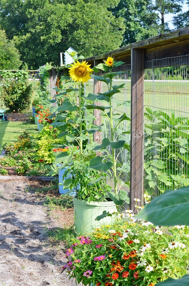 Sunflowers And Zinnias In The Garden In Containers