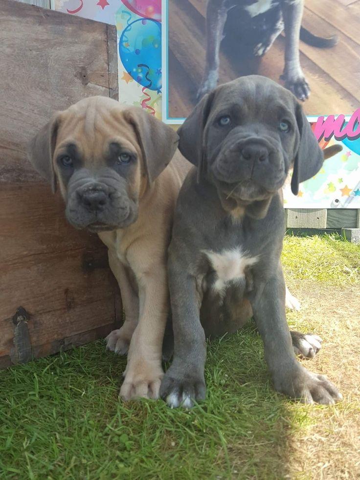 Hier waren de 2 nog zo klein. Ondertussen zijn ze 10 maanden oud.  De Cane corso.