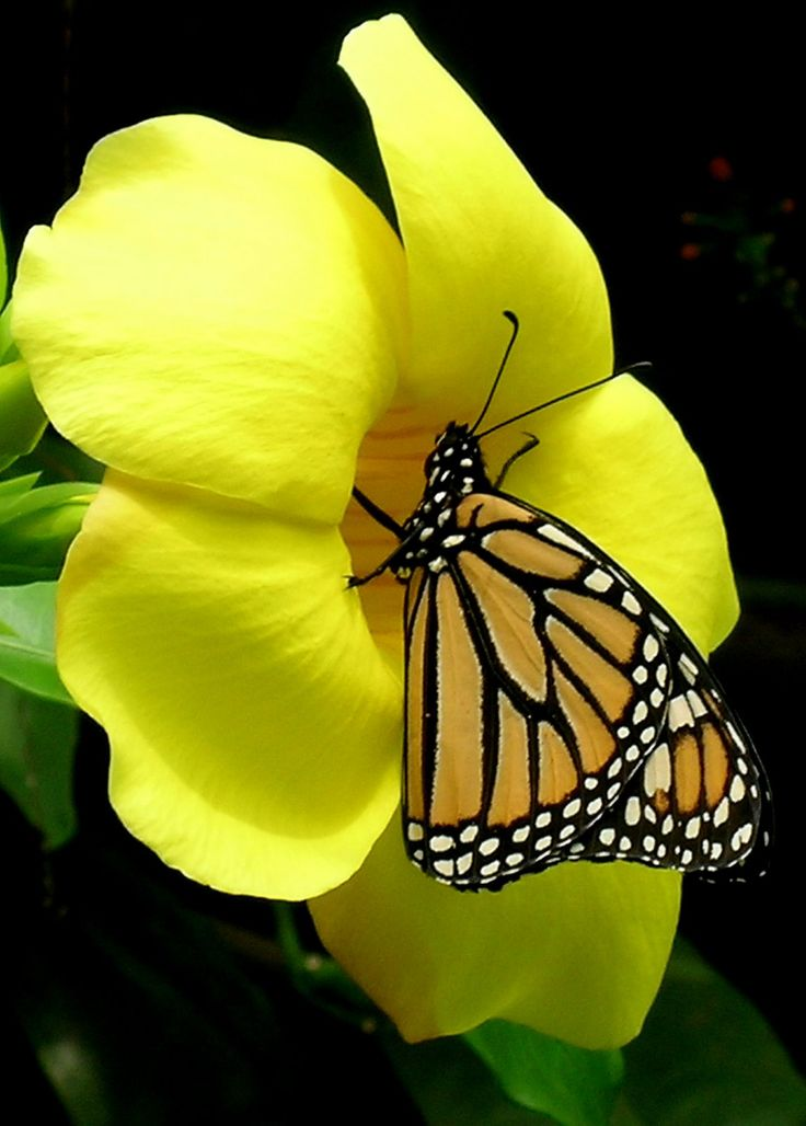 Monarch and trumpet vine: Beautiful Butterflies, Nature, Color, Flutterby, Flowers, Yellow Flower, Animal