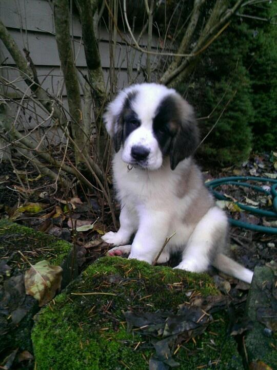 #saintbernard #puppy #cute #pearceklan