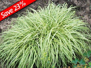 carex evergold ground cover ornamental grass for shade thrives with hardy ferns hydrangeas. Black Bedroom Furniture Sets. Home Design Ideas