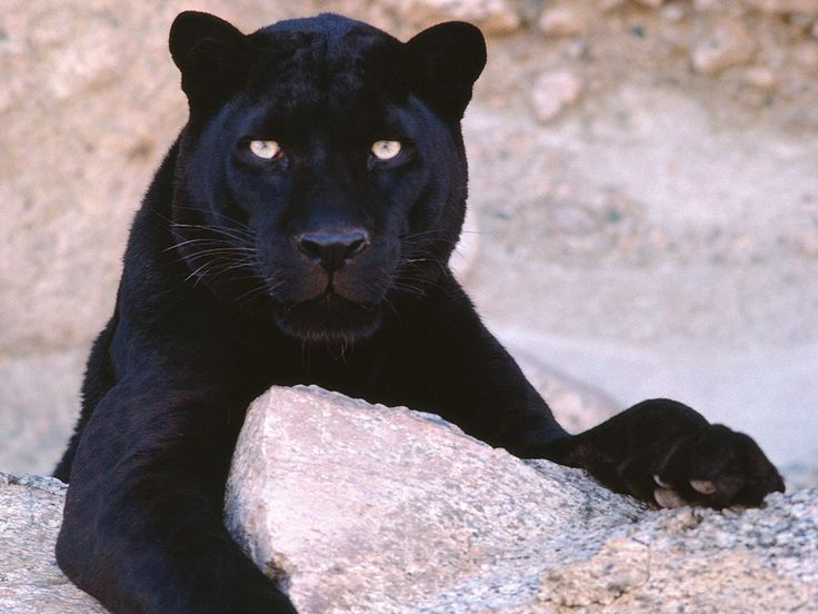 A Black Leopard. A genetic variation of the leopard in which the fur is darker than usual. Look carefully at the front leg and the leopard spots are visible. http://www.kewlwallpapers.com/bulkupload/136/Animals/Dark%20Look%20Black%20Leopard.jpg
