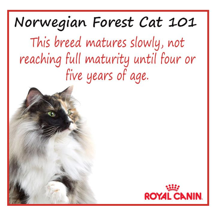 Norwegian Forest #cat 101