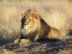 The lion (Panthera leo) is one of the four big cats in the genus Panthera, and a member of the family Felidae.
