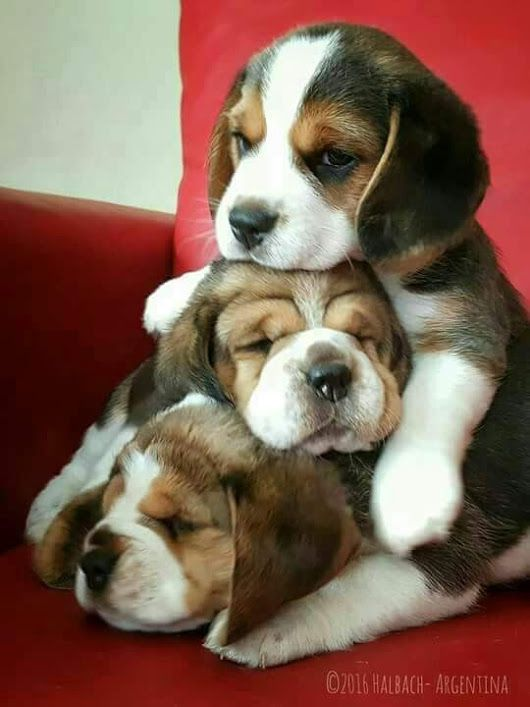 Oh my my... I love Beagles!! They are so loyal and loving.