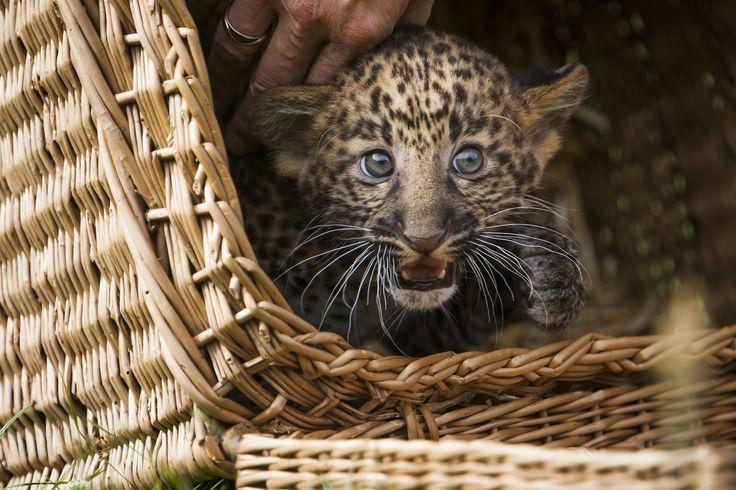 Seekor anak macan berusia delapan minggu melihat dari sebuah keranjang ketika ia diperlihatkan kepada media dan umum di kebun binatang Tierpark di Berlin, Jerman. Macan tutul Jawa itu lahir di kebun binatang itu pada 17 Juni dari induknya yang bernama Shinta. Anak macan itu belum diberi nama.