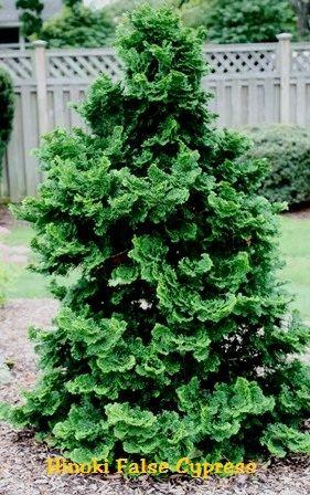 Hinoki False Cypress - Chamaecyparis obtusa DEER C Native to Japan