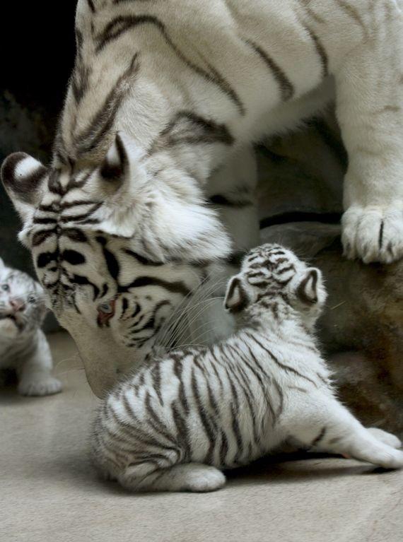 Tiger Secret Life Walter Mitty