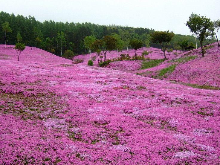 They know how to do it in Japan. В японском парке Hitsujiyama, что в префектуре Saitama на площади в 16 500 м2 высажено всего 400 000 шт. «цветущего мха» - флокса шиловидного четырех основных окрасок. Shibazakura (моховой флокс) создает роскошные цветущие покрывала в середине апреля, а после цветения (а мы ведь знаем, что флокс шиловидный - зимне-зеленое растение) – плотные темно-зеленые ковры из множества игольчатых листьев.