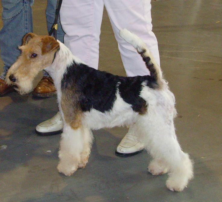 149 besten Х Fox Terrier Wire Bilder auf Pinterest   Hunde ...