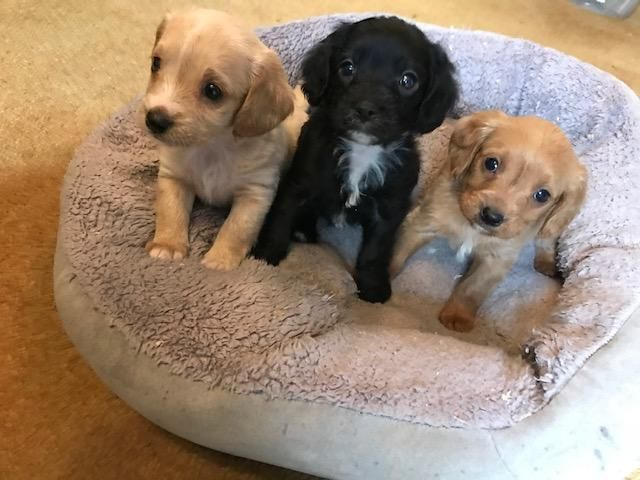 Teacup Puppies For Sale Teacup Puppy Miniature Toy Dogs Teacup Puppies For Sale Home Facebook 7 Best Che In 2020 Teacup Puppies Teacup Puppies For Sale Cheap Puppies