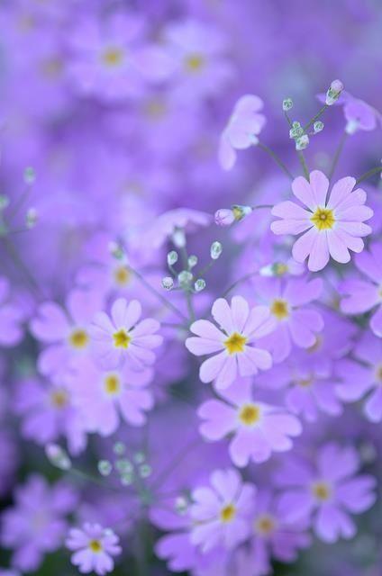 """O sorriso nasceu, floresceu leve, sem querer futuro, sem querer passado. Sorriso de querer só o presente."" Pe. Fábio de Melo: Beautiful Flower, Yellow Centers, Purple Flowers, Beautiful Lilac, Lilac Colored, Things Purple, Garden, Flower"