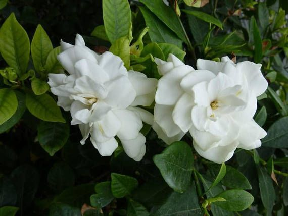 2 Cape Jasmine Gardenia Bushes Fragrant Large White Flowers Bush