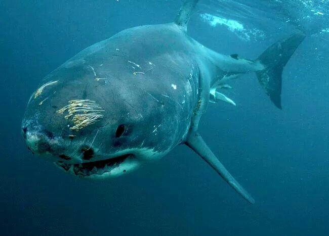 Battle Scared Shark