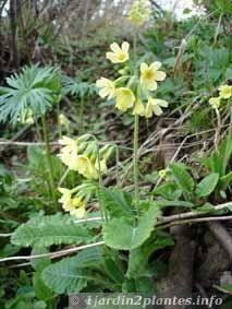 fleurs de coucou sauvage en sous-bois