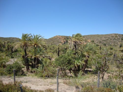 Phoenix theophrasti - the native palm growing in the only natural palm forest in Europe at Vai in eastern Crete