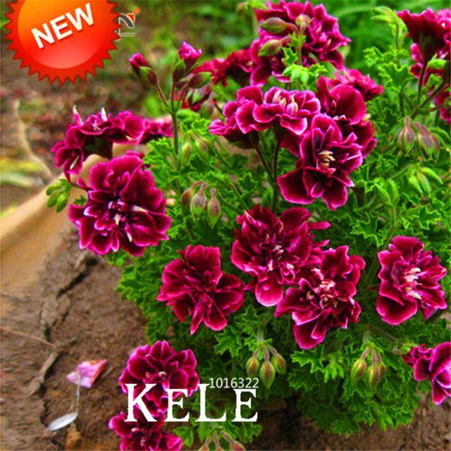 Venda! 20 Unidades/pacote Carmesim Pétalas de Flores de Gerânio Sementes, Sementes de Flores perenes Flores Peltatum Pelargônio, # WM9T73