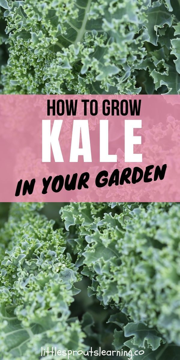 How To Grow Kale In Your Garden In 2020 Growing Kale Kale Plant