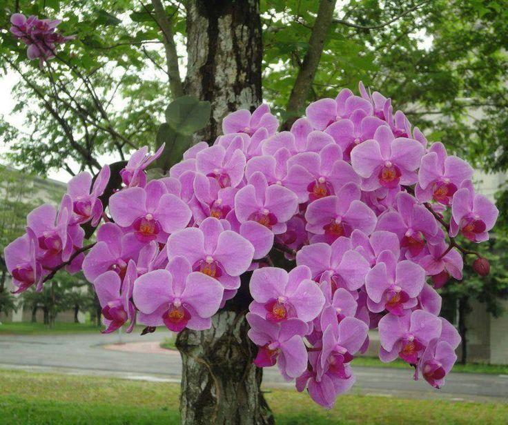 Phalaenopsis florescendo na natureza